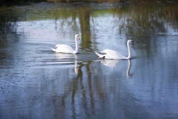 Swans at Slinfold