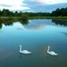 <Swans on the lake